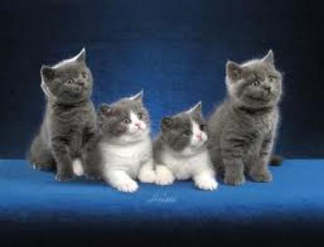 Britská kočka 3